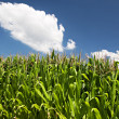 Dense cornfield at a bright day — Stock Photo