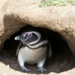 Stock Photo: Penguin in his burrow