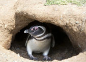 Penguin in his burrow — Stock Photo