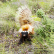 Stock Photo: Skunk