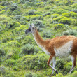 Guanaco — Stock Photo #40084687