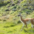 Guanaco — Stock Photo #40087847