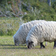 Merino sheep — Stock Photo #40302343