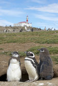 Penguin's colony at the Magdalena island, Patagonia, Chile — Stock Photo