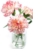 Carnation flower in a vase — Stock Photo