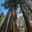Sequoia trees panorama — Stock Photo
