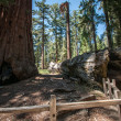Bole Sequoia — Stock Photo