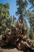 Root Sequoia — Foto de Stock