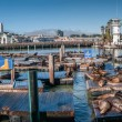 Sea lions at Pier 39 Panorama — Stock Photo