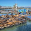 California sea lions — Stock Photo #35852029