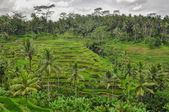 Bali ricefield Indonesia Ubud Bali — Stock Photo