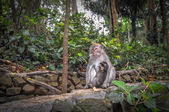 Long-tailed macaques (Macaca fascicularis) in Sacred Monkey Fore — Stock Photo
