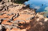 Sleeping crocodiles. Cuba alligator (crocodylus rhombifer) — Stock Photo
