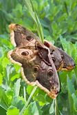 Large emperor moths on the grass — Stock Photo