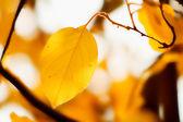 Höstlöv gul på ett träd, bakgrundsbelyst — Stockfoto