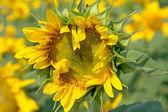 Florescent sunflower — Stock Photo