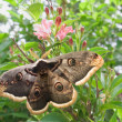 Large emperor moth on a flowering shrub spirea — Stock Photo