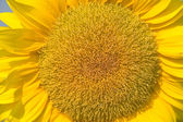 Flower of sunflower close-up — Stock Photo