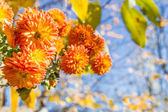 Orange chrysanthemums on a sunny day — Stock Photo