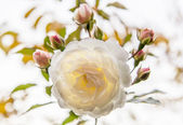White rose, backlit — Stock Photo