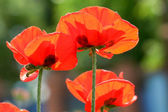 Red poppies, backlit — Stock Photo