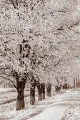 Acacia trees in the snow, sepia — Stock Photo