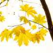Yellow maple leaves on the branch — Stock Photo #36296171