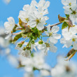 Stock Photo: Delicate cherry flowers