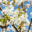 Spring cherry flowers with bee — Stock Photo