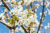 Spring cherry flowers with bee — Stock fotografie