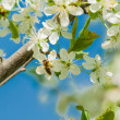 Bee on plum blossoms — Stock Photo #40719049