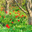 Tulips bloom in walnut garden — Stock Photo