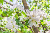 Flowers of an apple tree in spring day — Stock Photo