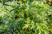 Dew drops on the green  leaves of a wormwood — Stock Photo