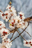 Bee on apricot blossoms — Stock Photo