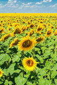 Field of sunflowers in the summer day — Stock Photo