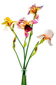 Colorful irises on a white background — Stock Photo