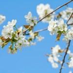 Flowering cherry — Stock Photo #43931517