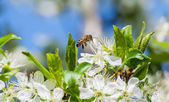 Bee on a blossoming plum — Stock Photo