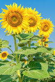 Three yellow sunflowers — Stock Photo
