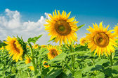 Sunny sunflowers in the summer day — Stockfoto