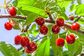 Berries of a sweet cherry on a branch — Foto Stock