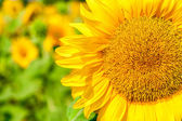 Sunny flower of sunflower  — Stockfoto