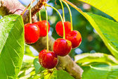 Ripe berries of a sweet cherry on a branch — Stok fotoğraf