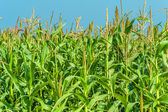 Corn in a field — Stock Photo