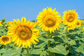Sunflowers in a field close up — Stock Photo