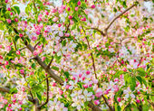 Flowering branch of apple-tree in spring — Stock Photo