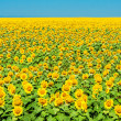 Field of yellow sunflowers on the background of blue sky — Stock Photo #47226477