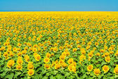 Field of yellow sunflowers on the background of blue sky — Stock fotografie