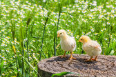 Two chicken on a stump — Photo